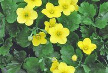 žlté trvalky