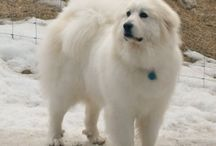 Great Pyrenees <3 / by Sarah Dodson