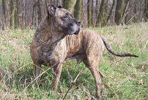 TIGER / Dog name : Tiger
