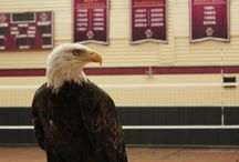Welles, our live Eagle mascot!  / Through a partnership with Zoo New England and the World Bird Sanctuary, BC had the honor to have a live eagle mascot at all of their home football games at Alumni Stadium this year. Check out photos of Welles with our fans!   / by Boston College Alumni
