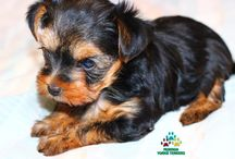 YORKIES AVAILABLE FOR ADOPTION