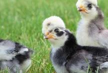 Chickens / by Angel Burch