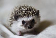 Hedgehogs / I want one