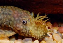 Plecostomus / Plecostomus are freshwater catfish that naturally live in Central and South America. They're often called Plecs or Plecos by aquarists, who seem to love these odd-looking catfish. To see more ... click on http://www.AquariumFish.net/catalog_pages/scavengers/pleco_catfish.htm#top2 / by AquariumFish.net