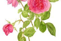 Z růže......