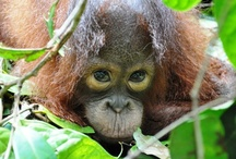 LUNA / This is a Tribute to Luna, a baby orangutan who suspiciously 'disappeared' in April 2011 from the rescue center where she was supposedly being cared for....  http://redapes.org/sintang/jaan