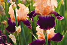 IRIS / by Terry Mayfield