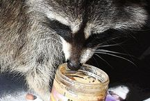 Raccoon Mascot / Four baby raccoons grew up on the factory grounds. Apparently orphaned, they really enjoyed our nut butters.  So...in turn, we adopted them and created our company logo in their honor.  Our mascot, Rocky, has become a symbol of our wholesome nature and our closeness to the earth.