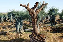 OLIVEIRAS / AZEITONAS / AZEITE  •  OLIVIERS / OLIVES / HUILE D'OLIVE / Les Oliviers en Alentejo, les olives et la production d'huile d'olive