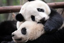 Animal Kingdom || Panda ||