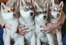 Cachorros Huskies