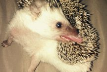 My love Molly ♥ / This is my hedgehog. I love her. She is very crazy animal. :-)