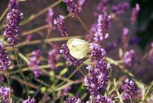 Nature / butterfly and lavender in our garden