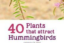 Humming Bird Plants