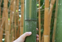 Bamboo in Holland