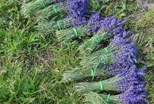 Lavender in Poland / About  inspiration for the  Lavender