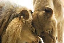 Big Cat Love <3 / by PrideRock Wildlife Refuge