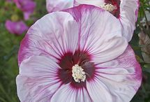 Hardy Hibiscus Flowers / Add These Large, Bright, Stunning Summer Flowers  To Your Sunny Summer Garden