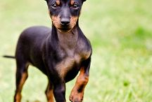 Manchester Terrier / These racy little dogs come in two size varieties: Toy (not exceeding 12 pounds) and Standard (not exceeding 22 pounds). They're easily recognized by a tight coat of rich mahogany tan and jet black. The head is long and wedge-shaped; tan spots above each eye point up a watchful expression. Manchesters can motor, running with good reach in front and propulsive rear drive powered by a muscular caboose.