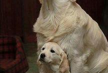 Golden Retriever, Dog, fofos