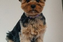 Lacey, yorkie