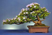 Rododendron Bonsai
