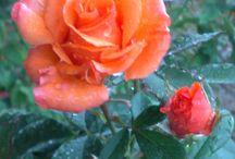 Ruža / Rose / Rosa