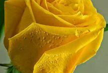 περιαεργα χρωματα στα τριανταφυλλα