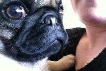 Kato / Our little pug Kato