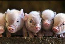 Animals: This Little Piggy