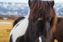 Animals / Icelandic Horse