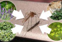 Mückenmittel / z.b. Katzenminze