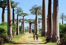 Alley of baobab / The Avenue of the Baobabs in Madagascar is also known as the Alley of Baobabs