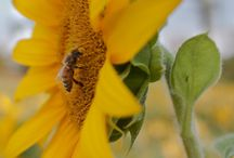 Pollinator / Save the bees