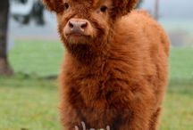 Lyn cows