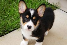 corgi (my pet)
