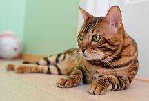 bengal / bengal cat/ leopard