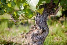 Le printemps au vignoble / Spring in the vineyard