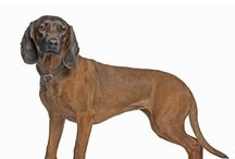 Bavarian Mountain Hound / The Bavarian Mountain Dog is a tracking hound that specialising in tracking injured big game. The breed was originally developed in the late 19th century in the mountains of Bavaria, Germany.     See more at: http://www.noahsdogs.com/m/dogs/breed/Bavarian-Mountain-Hound-2013-03-23#sthash.8b0CxMUJ.dpuf     Visit NoahsDogs.com for more information on over 200 other breeds.