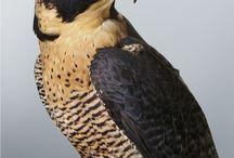 BIRDS: Falcons