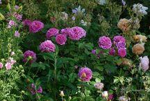 Honzíkovy růže