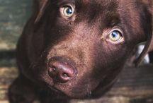 Labrador, Golden