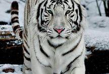 λευκες τιγρεις