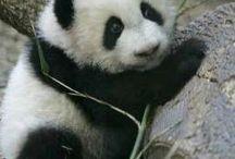 Panda image's(SO CUTE!!)