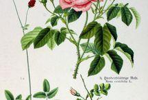 lithographie botanique