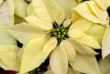 Flor de Navidad