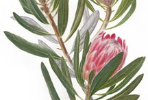 Botanical  Proteas