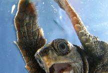 Sea turtles Age