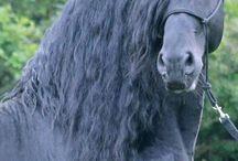 Koně lipica