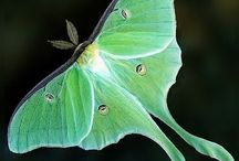 The Mysterious Luna Moth